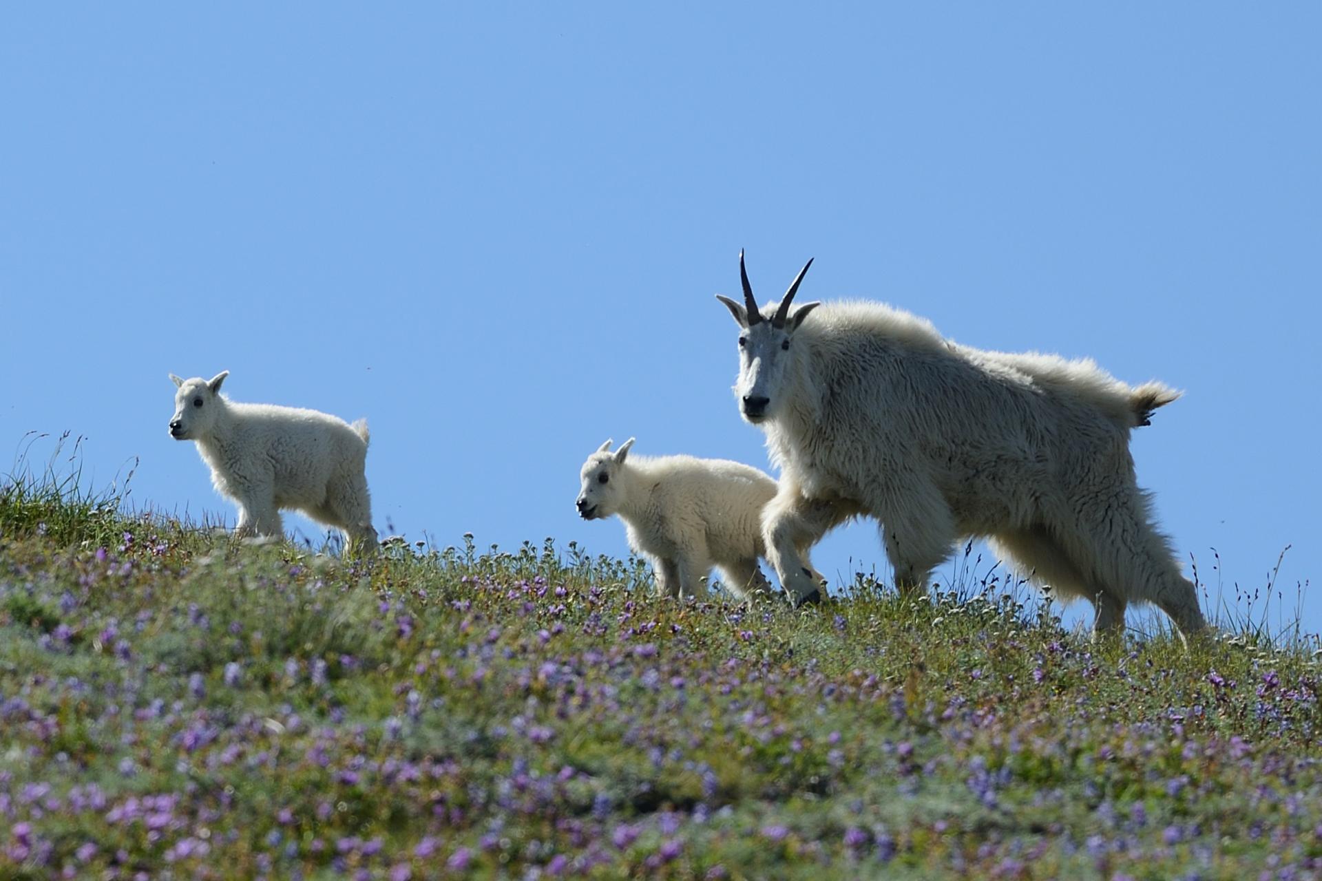 08 - Mountain Goats am Mt St Helens