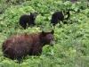 02 - Schwarzbären im Glcier NP