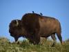 06 - Bison im Yellowstone