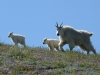 08 - Mountain Goats am Mt St Helens