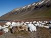 Svalbard Walrossfriedhof